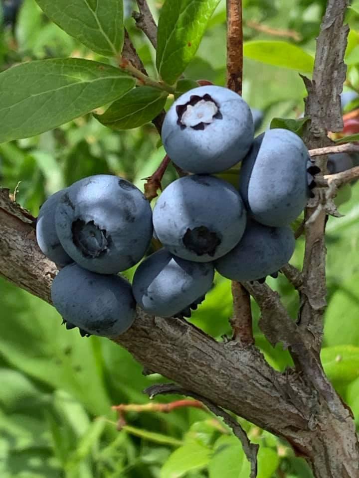 bleuets sur branches